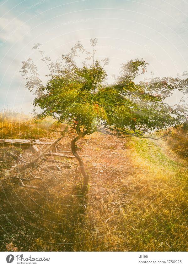Eberesche alias Vogelbeerbaum alias Sorbus aucuparia mit Lichtschein-Effekt. Baum Landschaft Natur Vogelbeere wild ländlich Hang Hügel Berg Gebirge Umwelt