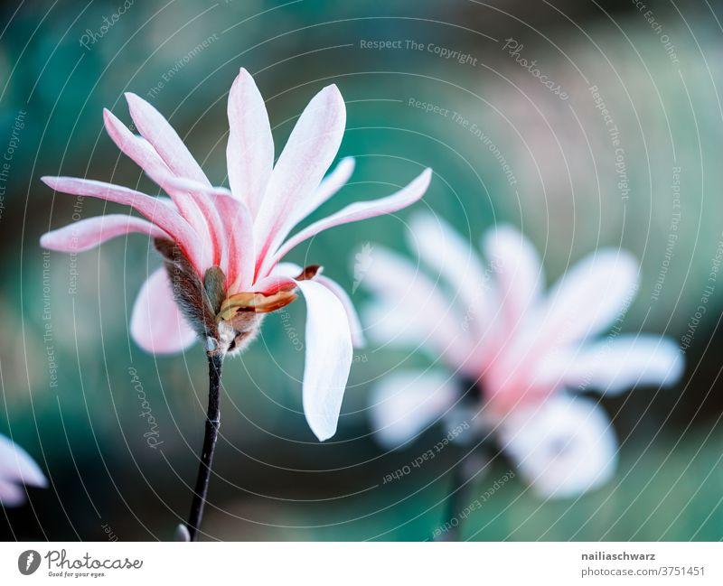 Frühling April botanisch Umwelt lieblich Magnolie Blütezeit Blütenknospen Natur Blume schön Schönheit Farbe Garten frisch Sommer natürlich geblümt Wachstum Ast
