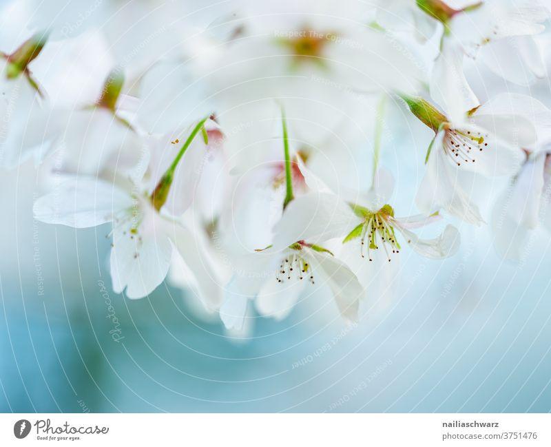 Weiße Kirschblüten Kirschbaum Hintergrund neutral Nahaufnahme Außenaufnahme Farbfoto Leichtigkeit Blühend Duft weiß Frühlingsgefühle Park Garten Zweig Blüte