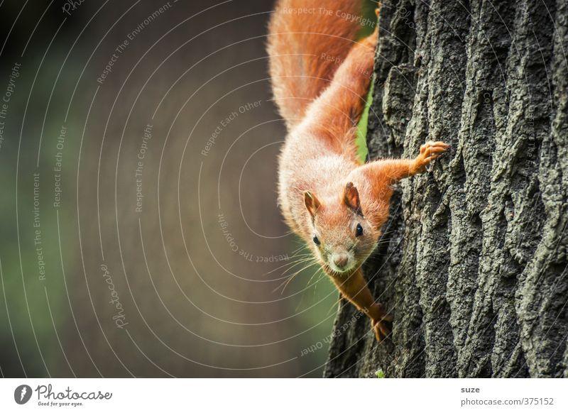 Alles Gute kommt von oben Natur Pflanze Baum rot Tier Umwelt klein braun Wildtier niedlich Neugier Fell Tiergesicht Baumstamm hängen tierisch