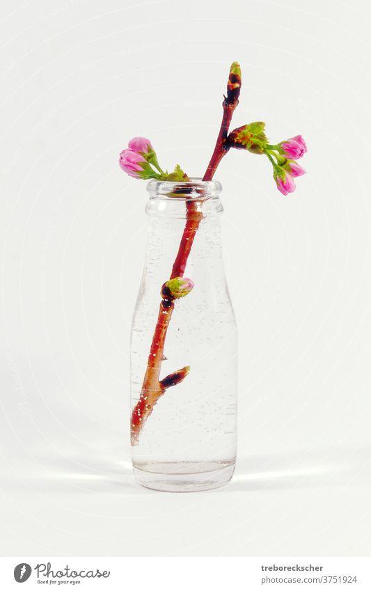 Glasflasche mit einem Pflaumenbaumzweig weiß Flasche Wasser Blütenblatt schön Natur Nahaufnahme Baum Frühling Hintergrund Pflanze Schönheit Saison Makro Ast