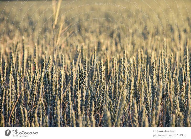 Weizenähren im Sonnenlicht Feld Ohr Natur Bauernhof Ackerbau ländlich Pflanze Struktur Müsli Sommer Landschaft Wachstum gelb Samen natürlich Korn Mais Szene