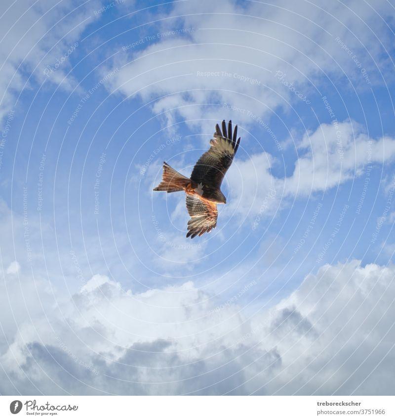junger Rotmilan am bewölkten Himmel Milan rot schwarz Beute Wolken Vogel Quadrat Tierwelt Natur Raptor Flügel Raubtier Flug Federn wild Bussard milvus blau