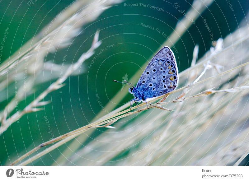 wilder blauer orangefarbener Schmetterling auf einem g Sommer Garten Natur Pflanze Blume Blatt Weiche Fluggerät Behaarung Pfote Linie Tropfen Blühend braun grau