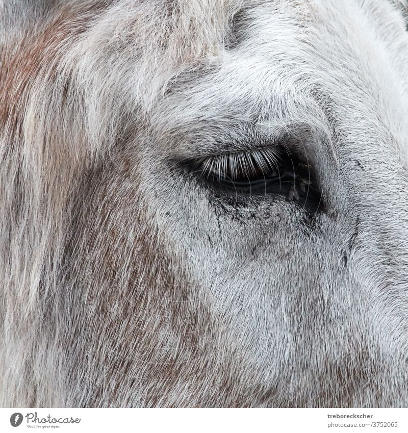 Eselsaugen mit Fliegen Kopf vereinzelt Bauernhof Säugetier weiß Muli Hintergrund Gesicht niedlich Natur Porträt heimisch Design braun Pferd Karikatur Stil