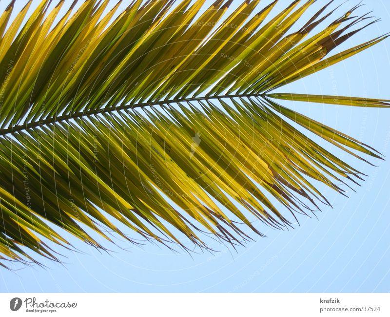 Palmwedel Pflanze Sommer Ferien & Urlaub & Reisen Palme