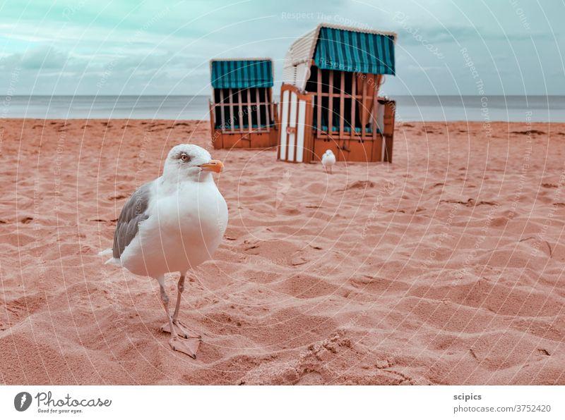 Möwen beim Spaziergang am menschenleeren Strand möwen Vogel Strandkorb Strandspaziergang Ostsee ostseeküste Ostseeinsel Ostseestrand Ostseeurlaub ostseesand
