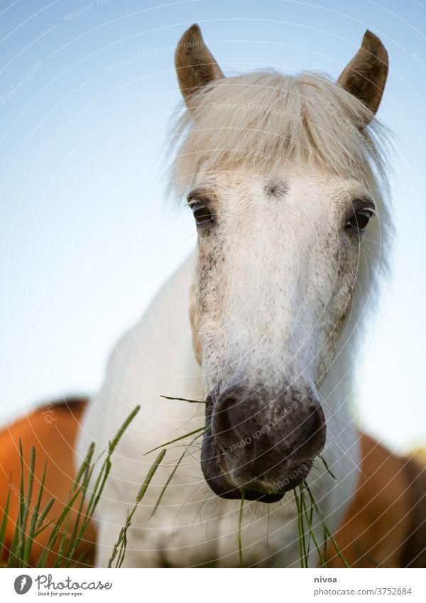 Inselpferd auf der Weide Island Ponys weiß Pferd Pferdekopf Blick in die Kamera Gras Lebensmittel Futter im Freien Außenaufnahme Tierporträt Menschenleer Tag