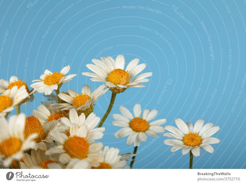 Nahaufnahme eines Straußes von Kamillenblüten über Blau Echte Kamille Gänseblümchen Blume Blütenkopf Kopf viele Blumenstrauß Menschengruppe frisch blau