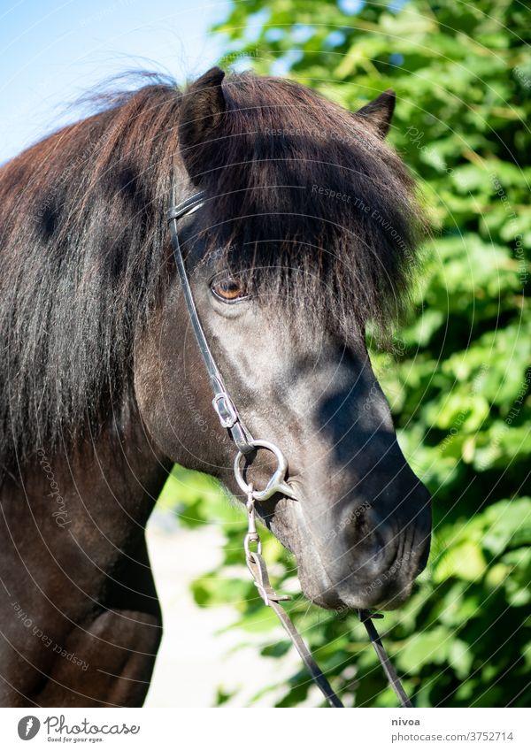 Islandpferd Rappe Island Ponys hengst Pferd Tier Außenaufnahme Tag Wildtier Tierporträt Farbfoto Menschenleer wild Nutztier stehen ästhetisch Himmel Tiergesicht