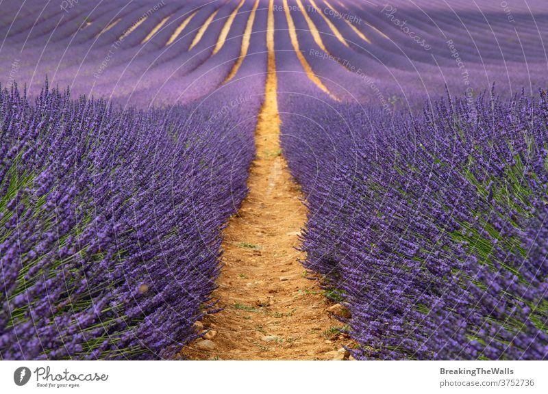 Violettes Lavendelfeld der Provence Feld Überstrahlung Blüte purpur Tag Blumen Frankreich malerisch Natur schön ländlich Ackerbau Landwirtschaft Landschaft