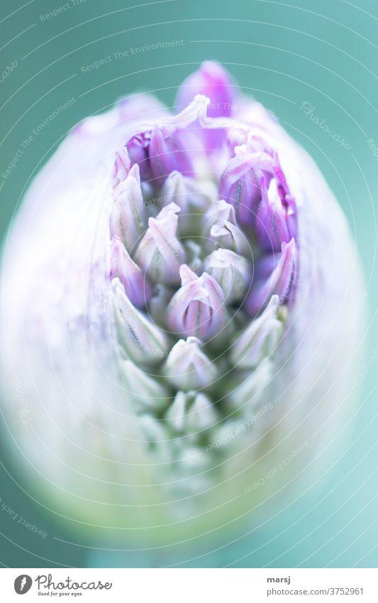 Zum Bersten voll ist diese Blütenknospe des Zierlauchs Pflanze Schwache Tiefenschärfe Natur Blume Garten grün violett platzen Zierlauchblüte Gartenpflanzen