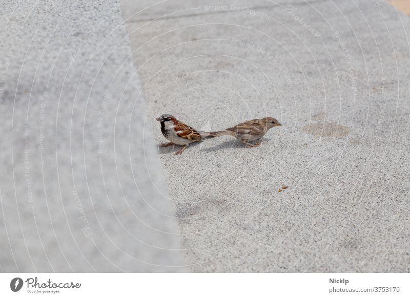 zwei Spatzen (Sperling) auf hellem grauen Beton Sperlingsvögel Stadt Kulturfolger Vogel Vögel klein urban Wildtier Tier Tierporträt niedlich