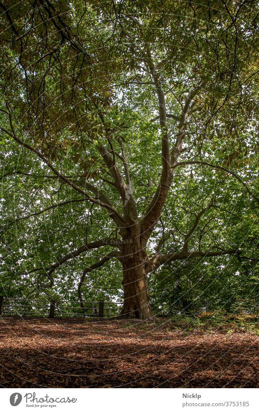 alter großer Baum (Platane) Platanen historisch Wald Park Schatten Blätter grün Sommer Frühling Laubbaum Natur Ast Blattgrün Baumstamm Blätterdach Baumrinde