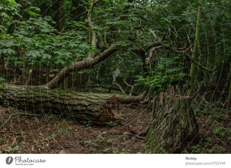 gefällter Baum (Lärche) im schattigen Wald gefällter baum Baumstumpf Totholz Baumstamm Blätter Ahornblatt Waldboden Natur grün Holz dunkel Forstwirtschaft