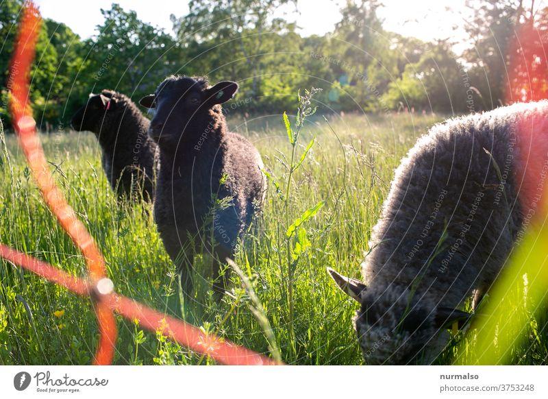 Schaf am Morgen tier herde wolle natur strom zaun stromzaun wiese ohren flauschig nachhaltig drei schäfer aufhorchen fressen freilandhaltung bio