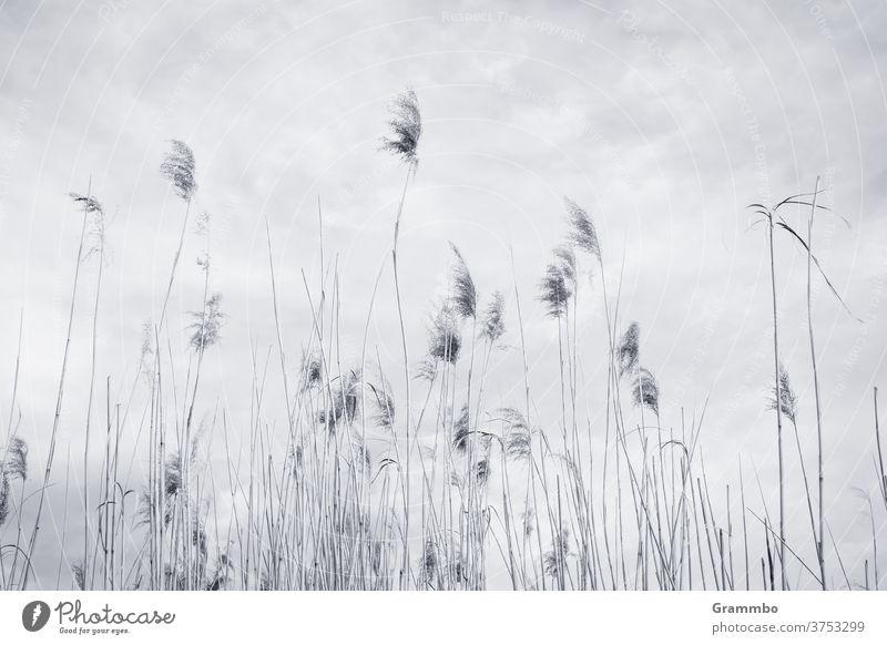 Himmel voller Schilf Schilfrohr schilfhalm Schilfgras Menschenleer Außenaufnahme Gras Umwelt Tag Pflanze Landschaft Natur