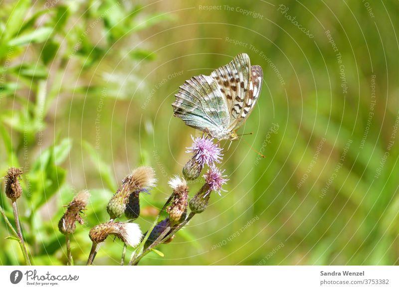 Distelfalter Blüte Nektar Schmetterling Natur Wildblumen Sonnenschein