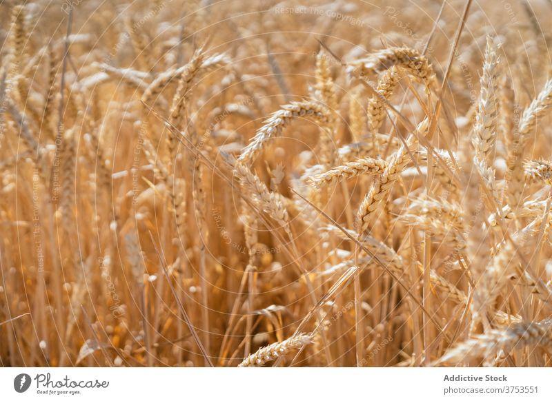 Gefüllt mit Weizen gegen blauen Himmel golden Feld Ackerbau kultivieren Landschaft Natur Dorf Spikelet Blauer Himmel Sommer sonnig Saison Bauernhof tagsüber