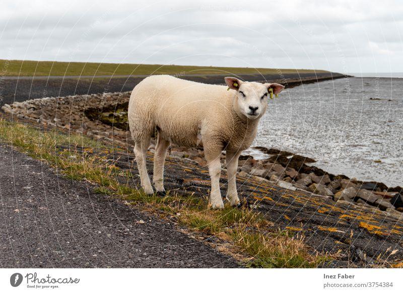 Bekam ein freundliches Augenzwinkern von diesem Lamm, Terschelling, Niederlande Schaf Zwinkern Zwinkerndes Auge Säugetier wild Gras Bauernhof weiß Feld niedlich