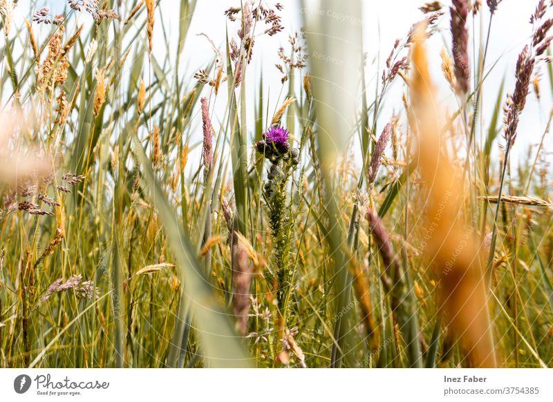Gras und Blumen auf einem Feld, Terschelling, die Niederlande farbenfroh Flora terschelling Farben der Natur geblümt natürlich Pflanze Sommer Blütezeit