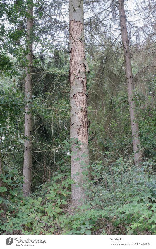 Lärche durch Schädlinge abgestorben Baum Borkenkäfer Baumstamm Schaden tot toter Baum Waldsternen Klimawandel Ökologie Nadelbaum Brombeeren Brombeerstrauch