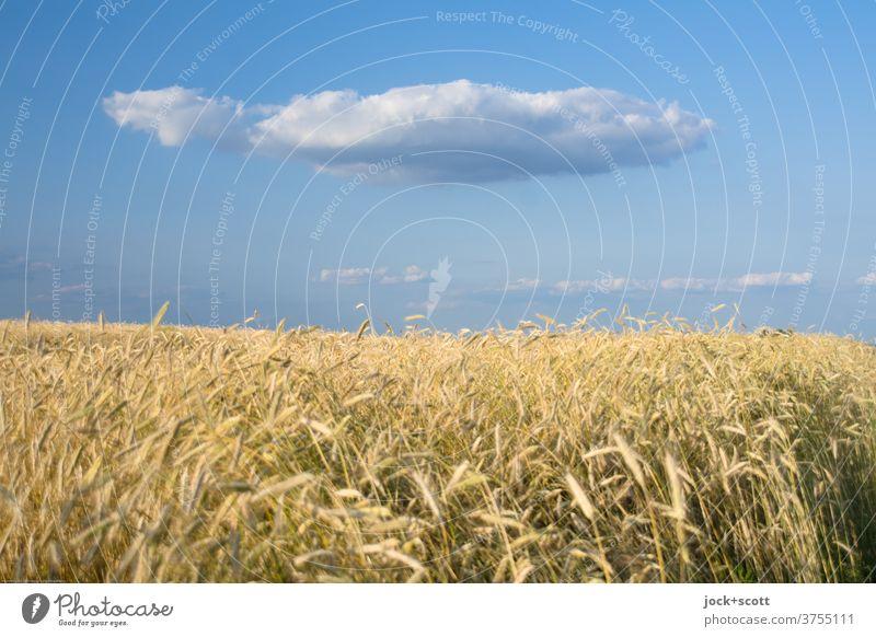 Goldgelbes Weizenfeld gegen Wolke auf blauen Himmel Getreidefeld Landwirtschaft Sonnenlicht Schweben Wolken Schönes Wetter Leichtigkeit Natur Klima Wärme Sommer