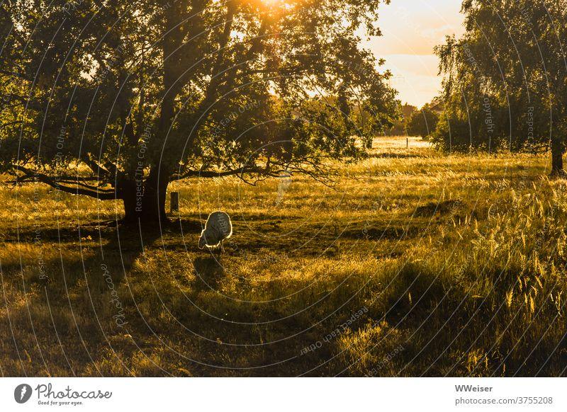 Es war einmal... ein glückliches Schaf in der Abendsonne Sonne Licht Wiese Baum Natur Gegenlicht golden warm strahlen leuchten Gräser grün gelbgrün Tier grasen