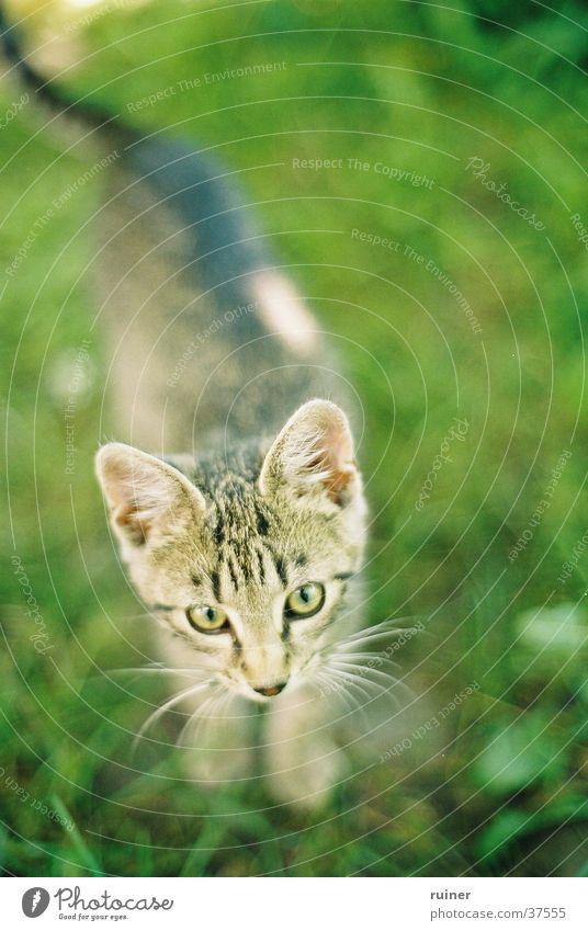 Scharfes Kätzchen Katze Hauskatze Gras Wiese grün Vogelperspektive Unschärfe Tiefenschärfe cat Auge