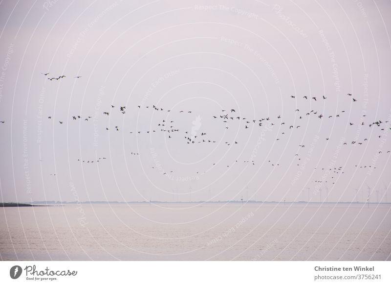 dynamisch | ein großer Schwarm Wildgänse über der Nordsee Vögel Vogelzug Vogelflug Wildtier Wildvogel Natur laut schnattern rufen Tier viele Außenaufnahme Deich