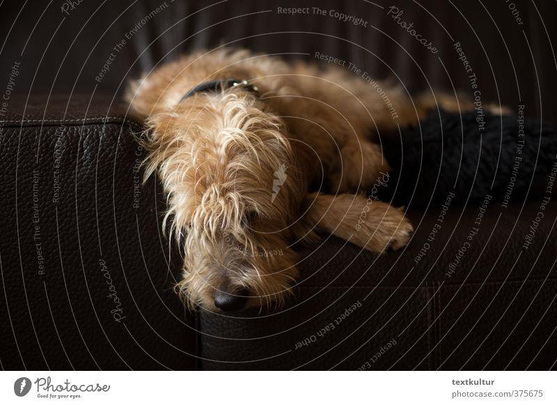 Nick, Herrscher des Sofas, müde Hund Erholung Tier natürlich träumen braun liegen Zufriedenheit authentisch Häusliches Leben beobachten genießen sportlich