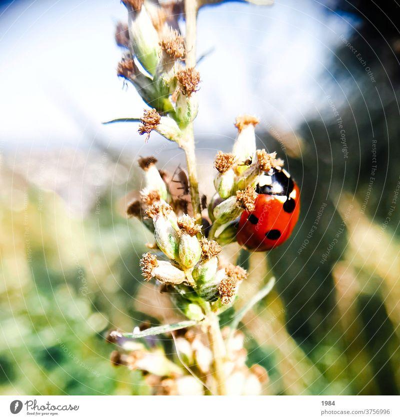 Marienkäfer Insekt Käfer Nahaufnahme Makroaufnahme krabbeln Außenaufnahme rot Farbfoto Glück Glücksbringer