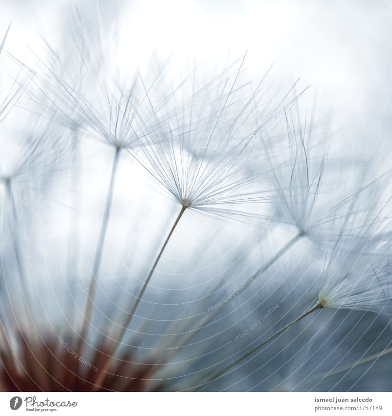 schöner Löwenzahnblütensamen, weißer Hintergrund Blume Pflanze Samen blau geblümt Flora Garten Natur natürlich dekorativ Dekoration & Verzierung abstrakt