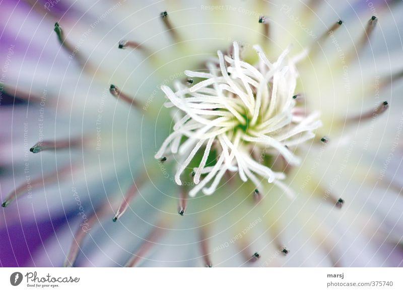 Findet Nemo! Natur weiß Sommer Pflanze Frühling Blüte elegant frisch Blühend fantastisch violett Duft exotisch Grünpflanze Wildpflanze Topfpflanze