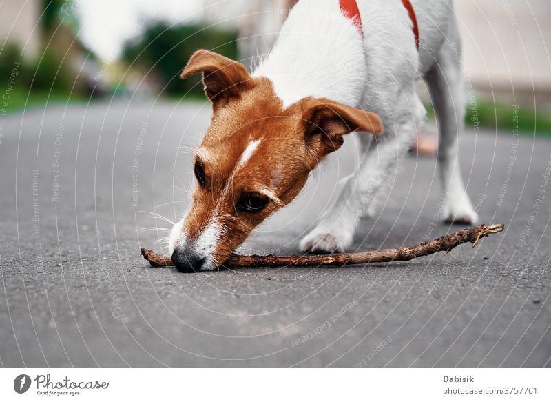 Jack Russel Terrier Hundespiel mit Holzstock im Freien kleben spielen klein Spiel niedlich Welpe Haustier Spielzeug außerhalb Wagenheber Knochen Spaß Tier