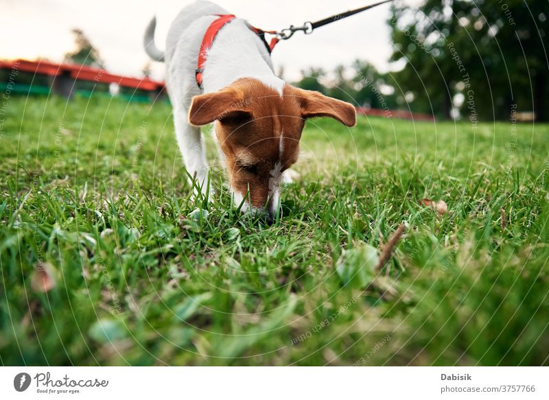 Hund auf Gras an einem Sommertag. Besitzer geht mit Hund im Freien spazieren spielen Spaziergang rennen Welpe niedlich Glück Haustier bezaubernd braun Gesicht