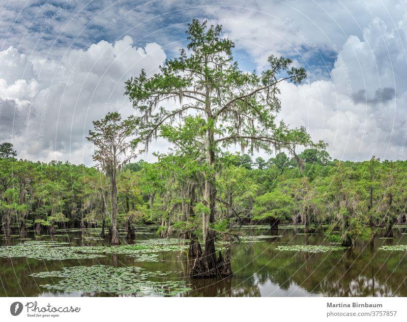 Märchenhafte Landschaft. Zypressen im Sumpf des Caddo Lake State Park, Texas Caddo-See spanisches Moos Wasser reisen Herbst Pflanze Hintergrund Baum Natur