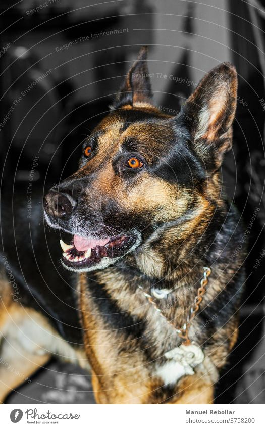 Hundefotografie Tier züchten Haustier Vektor Bulldogge Schäfer niedlich Grafik u. Illustration Deutsch Welpe heimisch Säugetier Eckzahn Reinrassig Terrier