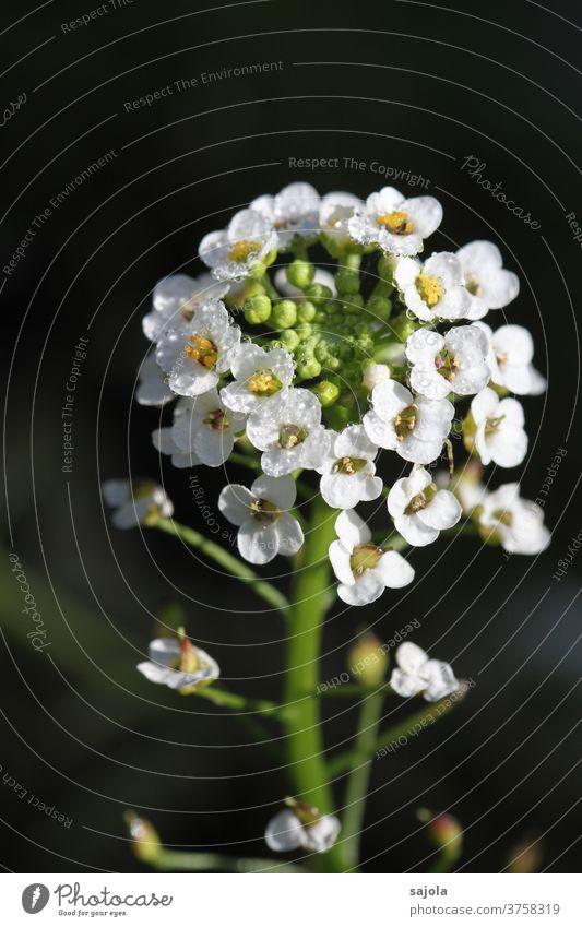 Duftsteinrich mit Tautropfen Silberkraut Blume Blüte Steinkraut weiß Wassertropfen Natur Pflanze Nahaufnahme Makroaufnahme Farbfoto Außenaufnahme