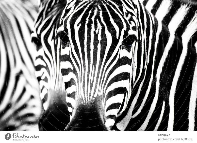 Zebrastreifen Streifen Schwarzweißfoto schwarz Muster Säugetier Fell Wildtier Tier gestreift Kontrast Natur Safari Tierporträt Blick Außenaufnahme Nahaufnahme