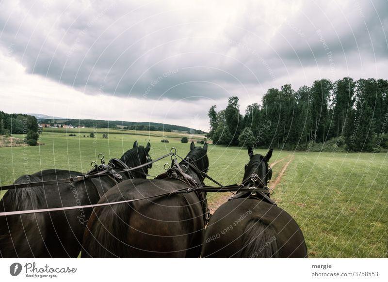 Kutschfahrt mit drei Pferden Kutscher kutsche Pferderücken Pferdeschwanz Pferdekutsche Pferdefuhrwerk bedeckter himmel Wolken Pferdegruppe transport