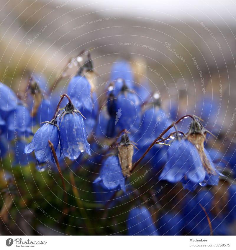 Das blaue Klingeln Glockenblume Blume Blüte Pflanze Natur Farbfoto Menschenleer Sommer Österreich Lünerseegebiet Wassertropfen lila Lila Blume lila Blüte