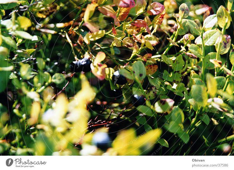 Blaubeeren grün Pflanze Blatt