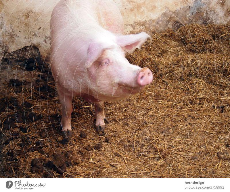 Glückliches Schwein Bauernhof schwein Hausschwein Verkaufswagen Nebel glückliche Tierhaltung Tierwohl Natur Mastschwein Glücksschwein