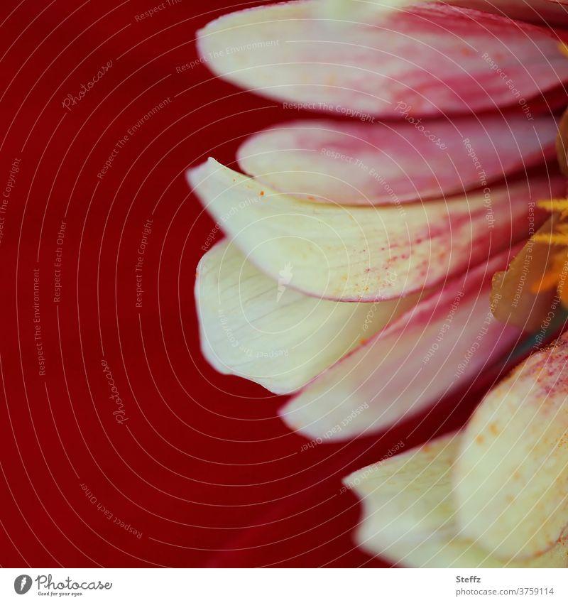 Herbstblume Dahlie Dahlien Blütenblätter Blume Dahlienblüte Blühend Schönheit natürliche Farbe Herbstbeginn nah floral Herbstblumen ästhetisch natürliches Licht