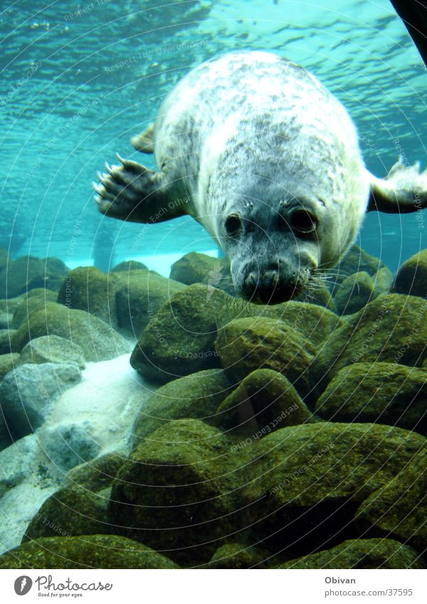 Robbe in Action blau Wasser Meer Tier Felsen Wildtier Neugier Fell Tiergesicht Interesse Aquarium Krallen Robben Seehund Meeressäuger