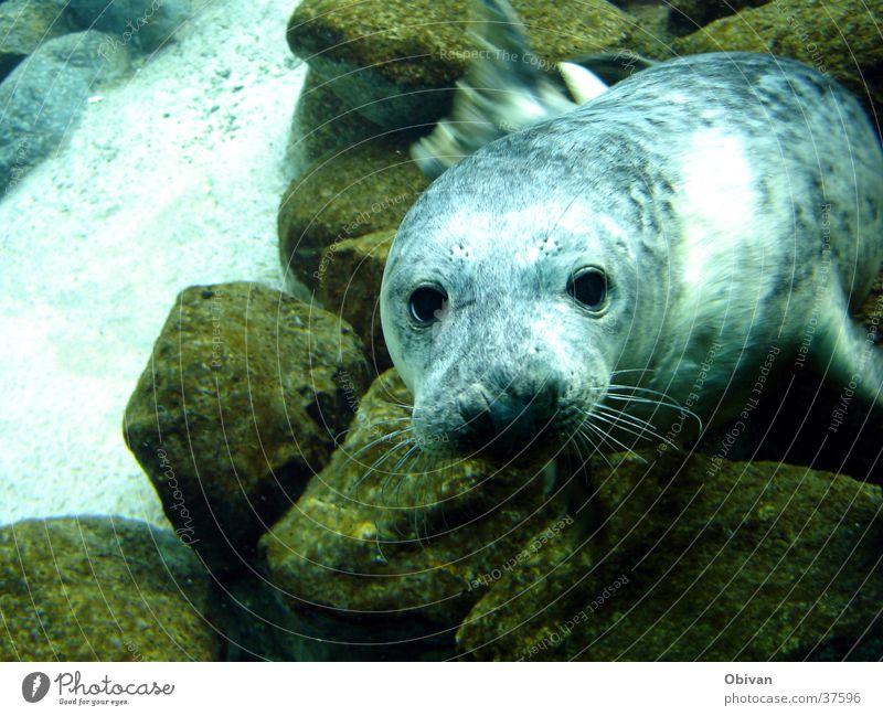 Schau mir in die Augen kleines Wasser Felsen Aquarium Robben 1 Tier blau Seehund Robbenbaby Farbfoto Unterwasseraufnahme Blick Stein Tiergesicht Tierporträt