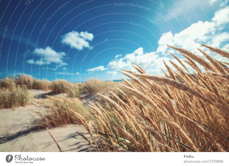 Dänischer Nordseestrand bei schönsten Sonnenschein Strand Küste natur landschaft nordseeküste dünen dünengras sommer urlaub erholung reise dänemark europa meer