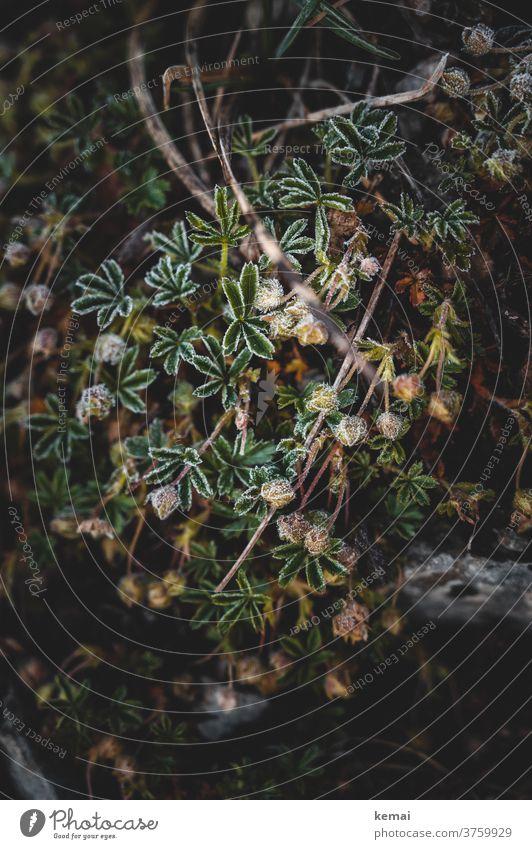 Gewächs auf Stein Pflanze grün wachsen gefroren kalt Natur Frost Blatt Nahaufnahme Fels Schwäbische Alb