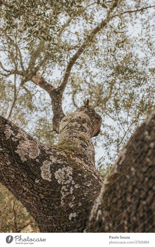 Korkeiche Eiche Baum Baumstamm Baumrinde Bäume Ast Blatt Farbfoto Außenaufnahme grün Umwelt Natur Pflanze Sonnenlicht Sommer Herbst Zweig Wald Tag Wachstum